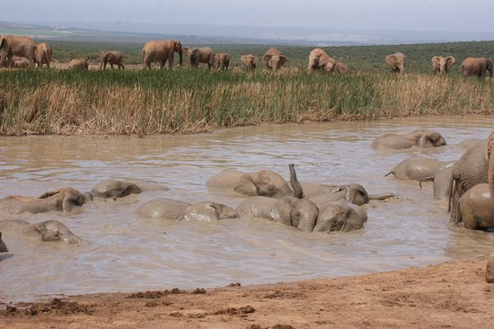 elephants swimming in the Addo Elephant National Park