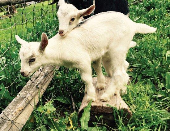 Orleans, Kalifornien: Baby goat kids in Spring.
