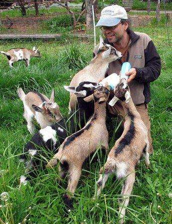 Orleans, Kalifornien: Goat kids in the Spring!