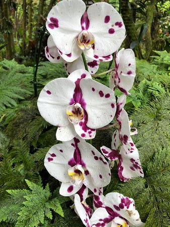 Papaikou, HI: Orchid
