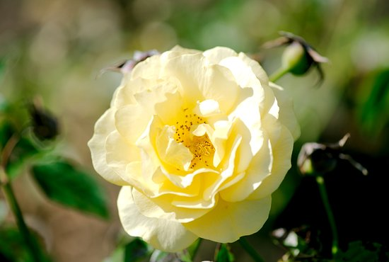 Middletown, Nueva Jersey: Deep Cut Gardens - Julia Child floribunda rose blooming in full sun