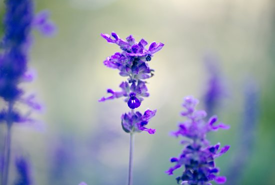 Middletown, NJ: Deep Cut Gardens - Salvia Farinacea Victoria Blue Mealycup Sage flowers