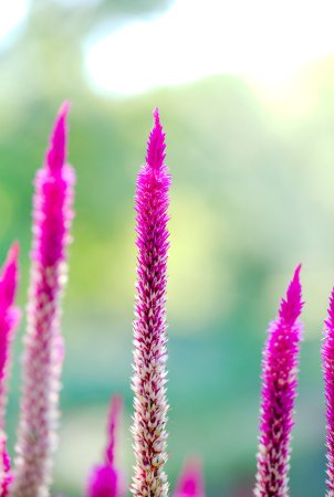 Middletown, NJ: Deep Cut Gardens - Pampas Plume Celosia