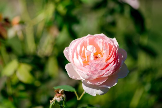 Middletown, NJ: Deep Cut Gardens - Carding Mill English Rose
