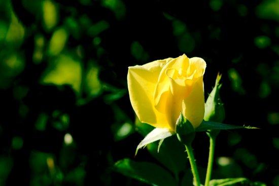 Middletown, NJ: Deep Cut Gardens - Yellow Rose