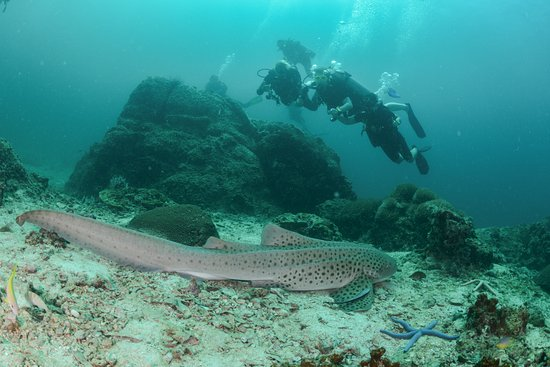 Lanta Diver: Leopard shark, Markus find it and took us safely wery close!