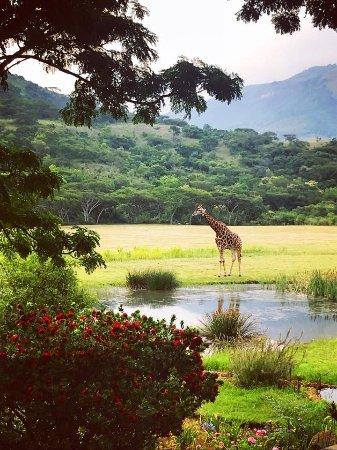 Waterval Boven, Sydafrika: Giraffen direkt vor der Terrasse