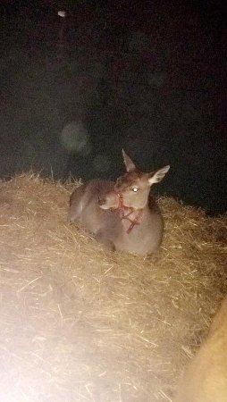 Athlone, Irland: rudolf the reindeer