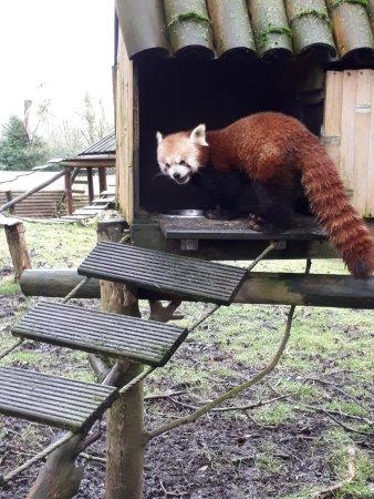 Hermival-les-Vaux, Frankrike: Petit Panda roux