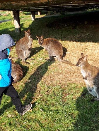 Hermival-les-Vaux, Frankrike: Au milieu des kangourous