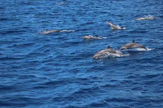Trois-Îlets, Martinique: Les dauphins nous suivent !!!