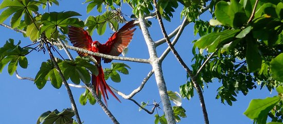 One of the many macaws landing on a tree at Iguana Lodge.