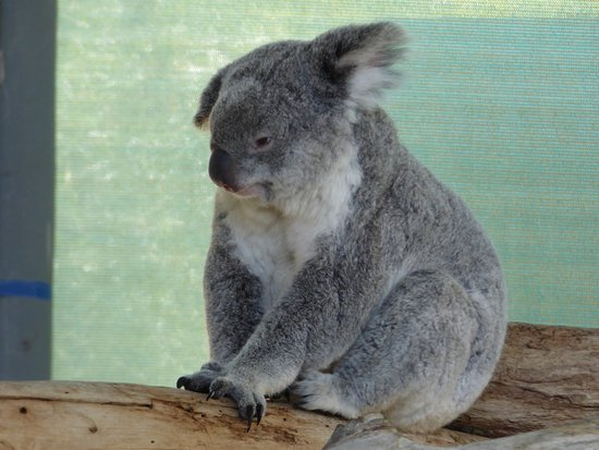 Byford, Australie : Cute koala