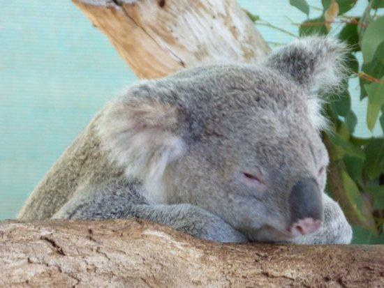 Byford, Australie : koala just chillin
