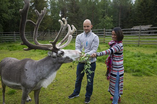 Visit to reindeer and husky farm and ...