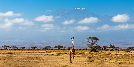 Amboseli National Park, Kenya: looked like curving erected , but its a giraffe ,the view i had of kilimajaro
