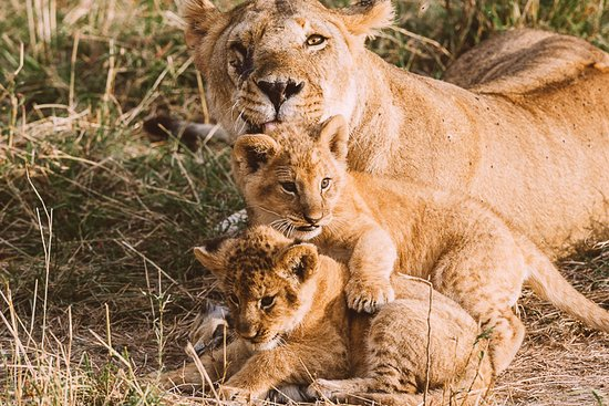 Mara Triangle: cuddling-lioness and her cubs , - like they had paused for a snap
