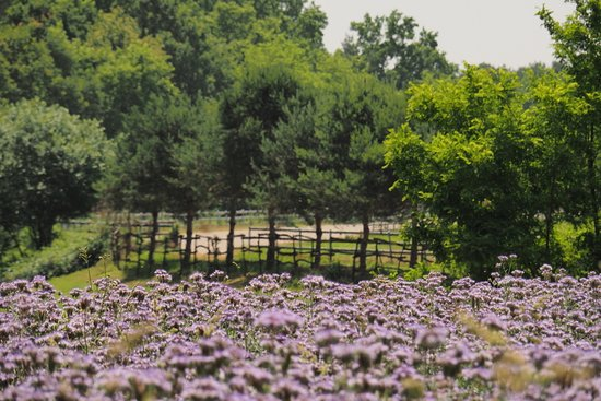 Lurago Marinone, Italy: fioritura di facelia