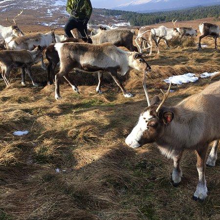 Cairngorm Reindeer Herd : photo0.jpg