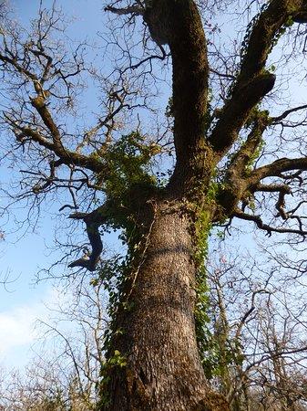 Lablachere, Γαλλία: un chêne pubescent vénérable