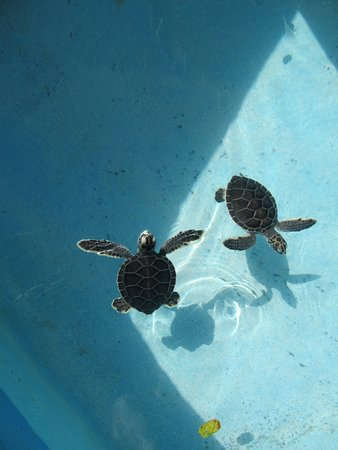 Sea Turtle Hatchery : 2 month old turtles.
