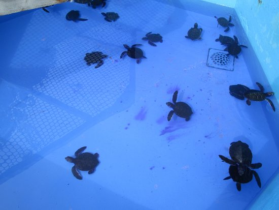 Sea Turtle Hatchery : Antibiotics for the baby turtles.