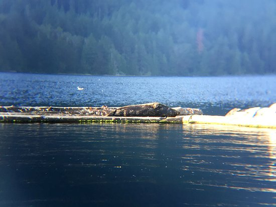 Sechelt, Canada: Sammy the seal lounging on his raft