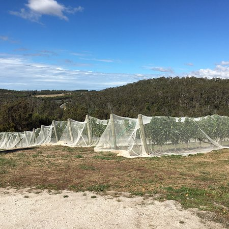 Pipers Brook, Australia: Keeps the birds off the grapes