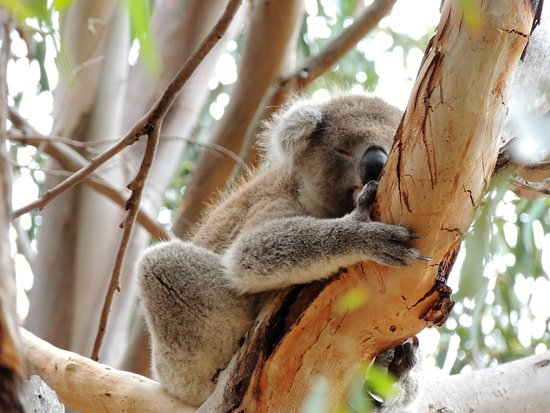 Hanson Bay, Australië: Koala