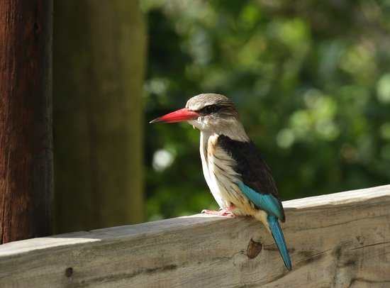 Heritage Day Tours & Safaris: Brown-houded kingfisher