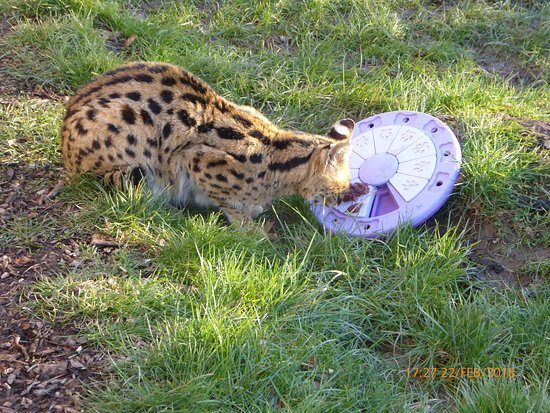 Smarden, UK: In the enclosure with a serval