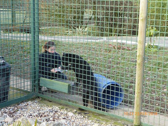 Smarden, UK: playing with Black Jaguar cub
