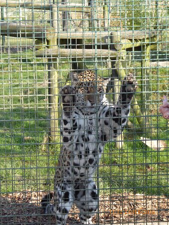 Smarden, UK: Jaguar ready for a hand feed