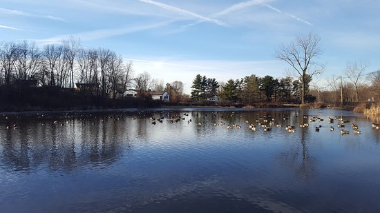 South Windsor, CT: Geese