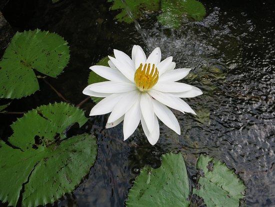 The Oberoi Bali : Lotus in villa's pond