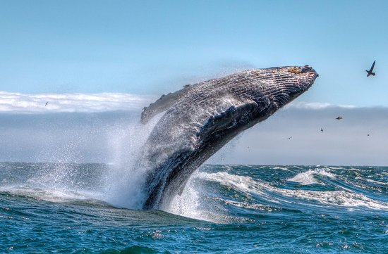 Avila Beach, CA: Humpback whales visit our shores from April through Ovctober
