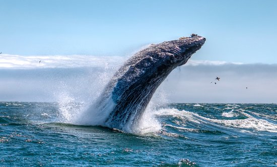 Avila Beach, CA: hump back whale breaching on one of our whale watching sailing tours