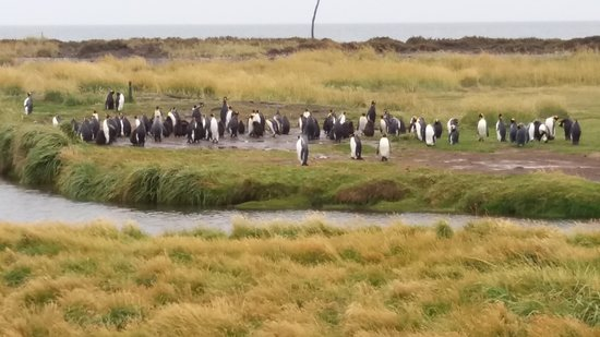 Tierra del Fuego, Chile: King Penguin Tour