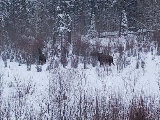 Lodge at Whitefish Lake: Moose in the back yard.