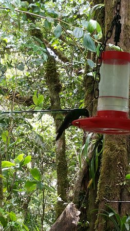 Guia Naturalista Olman Gonzalez: at feeder in Monteverde cloud forest reserve