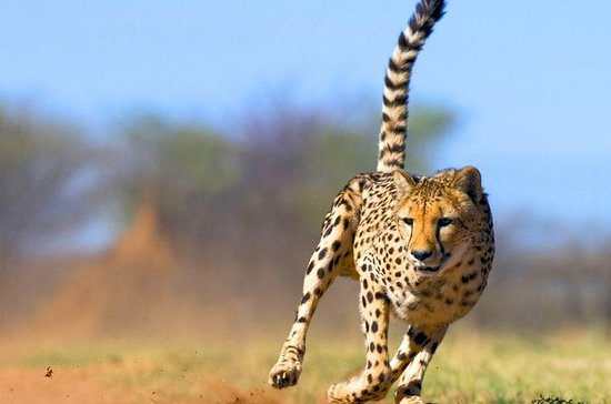 Full-Day Cheetah Outreach Tour from...