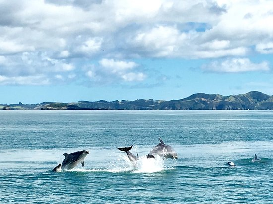 Kerikeri, Nya Zeeland: We've seen dolphins on 75% of the trips I've taken on Gungha II
