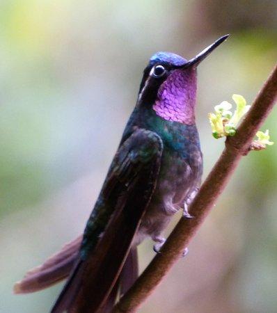 Purple Throated Mountain Gem