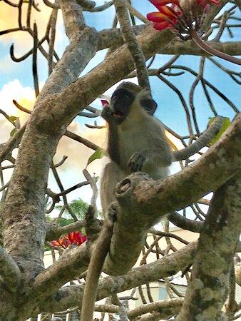 Lower Carlton, Barbados: Monkey In LGC Garden