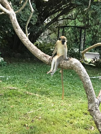Lower Carlton, Barbados: Even the monkeys are laid back!
