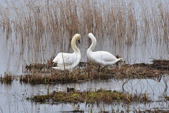 Westleton, UK: Mute Swans - Island Mere