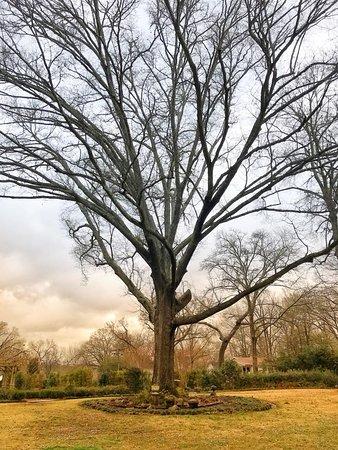Jefferson, Техас: Great big tree.