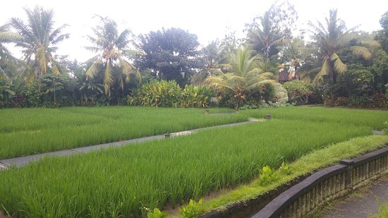Gerebig Bungalows: View of the garden and rice field from our ground floor bungalow. Pool is behind the smaller pal