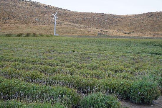 Mackenzie District, Neuseeland: Lavender farm