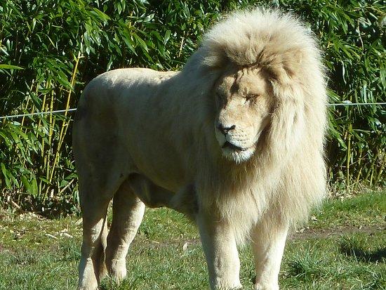 Jurques, Francia: Le superbe lion blanc
